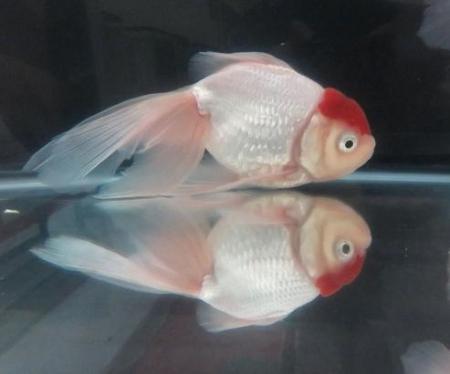 金魚 032