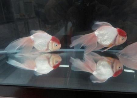 金魚 033