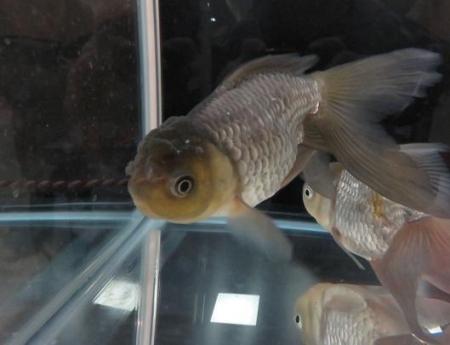 金魚 030