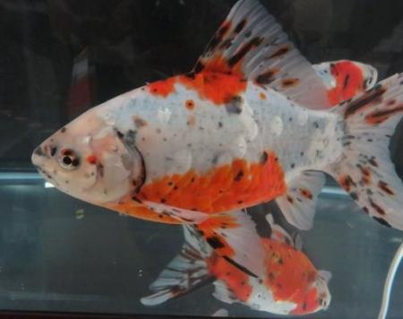 金魚 036