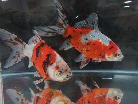 金魚 035