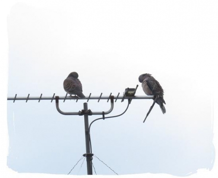 2羽のハト 010