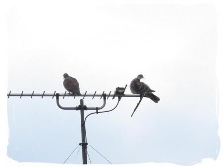 2羽のハト 005