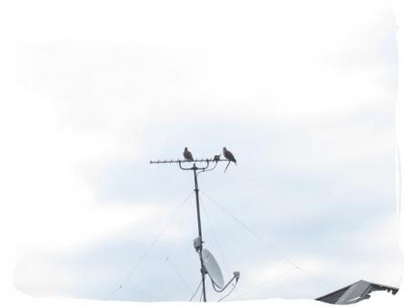 2羽のハト 001