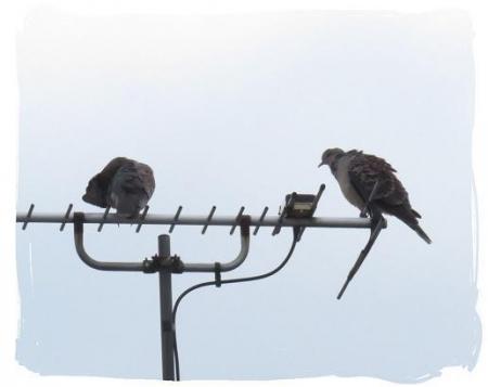 2羽のハト 019