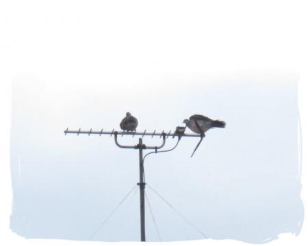 2羽のハト 015