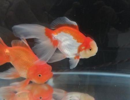 金魚 044