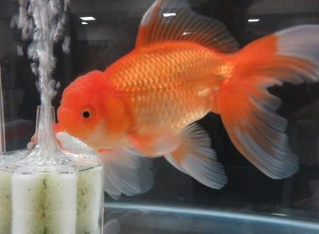 金魚 042
