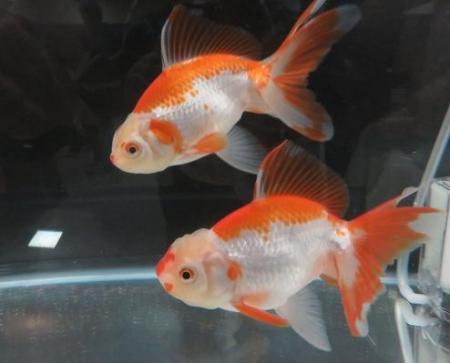 金魚 040