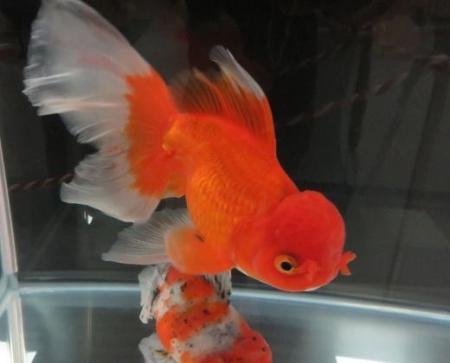金魚 048