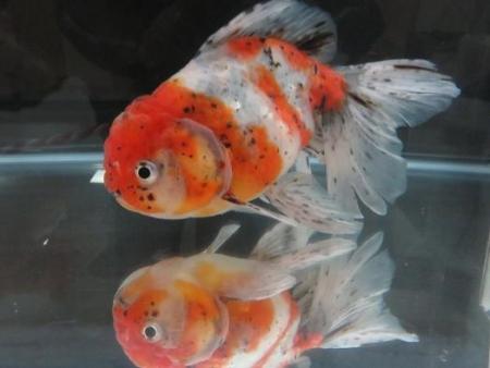 金魚 046