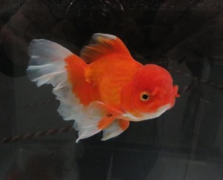 金魚 050