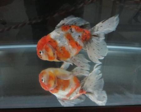 金魚 047