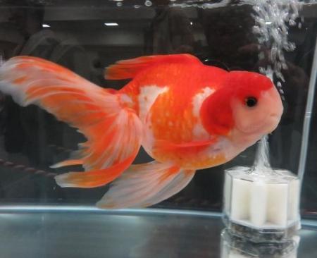 金魚 060