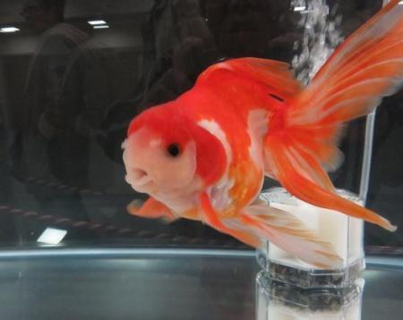 金魚 059