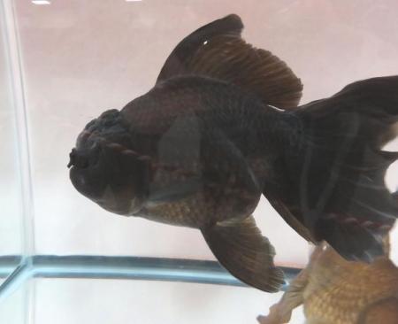 金魚 055