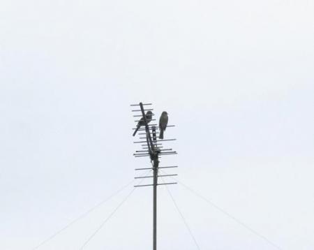 ツグミ2羽 036