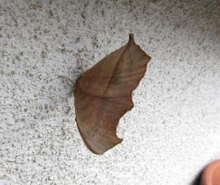 外壁タテハモドキ 005