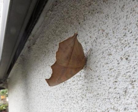 外壁タテハモドキ 008