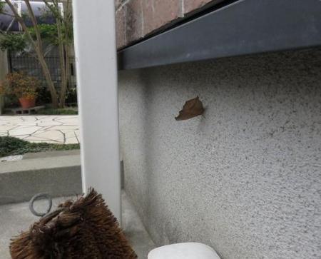 外壁タテハモドキ 011