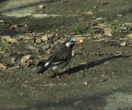 ムクドリの食事 運動公園 031