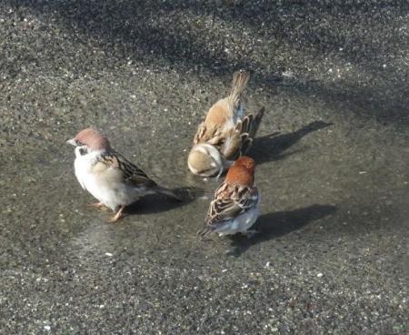 雀の水浴 036