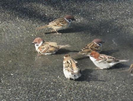 雀の水浴 034