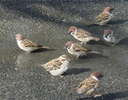 雀の水浴 033