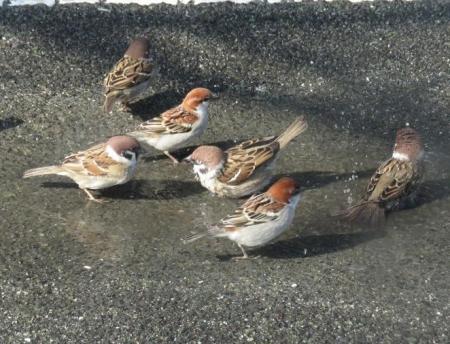 雀の水浴 030