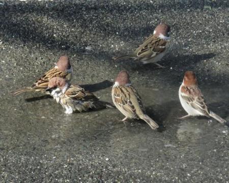 雀の水浴 027