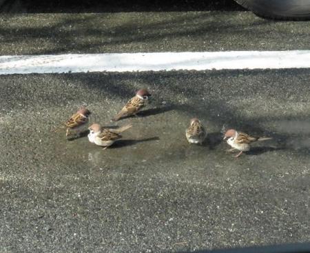 雀の水浴 024