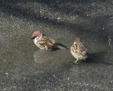 雀の水浴 044