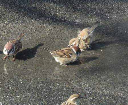 雀の水浴 041