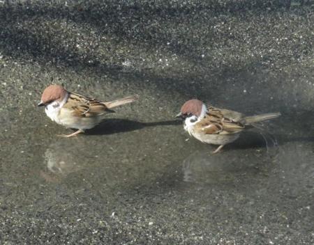 雀の水浴 040