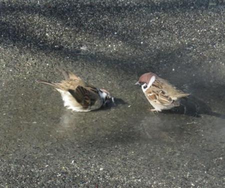 雀の水浴 039