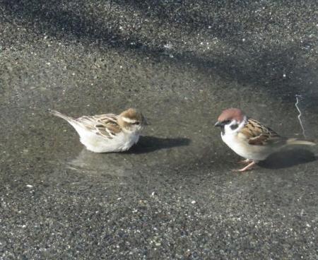 雀の水浴 038