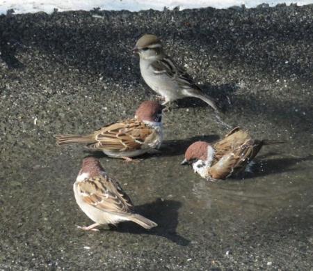 雀の水浴 054