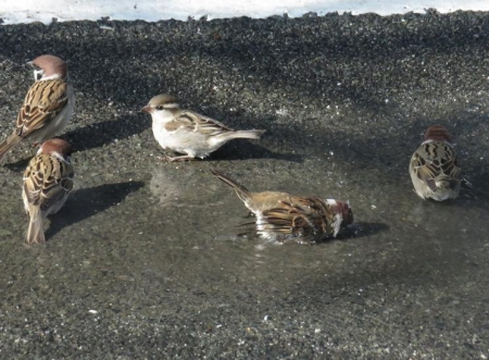 雀の水浴 053