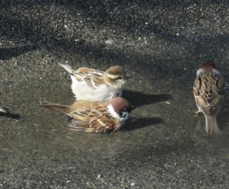 雀の水浴 052