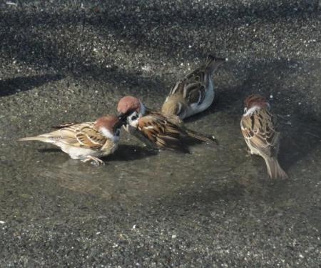 雀の水浴 051