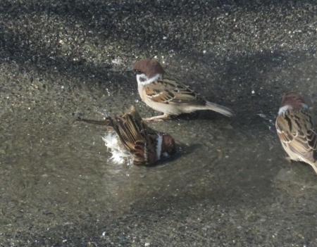 雀の水浴 049