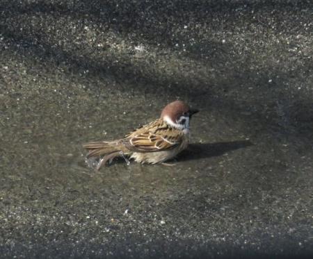 雀の水浴 077