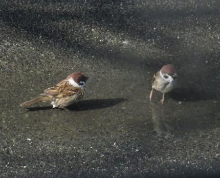 雀の水浴 067