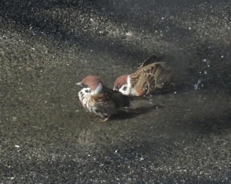 雀の水浴 066