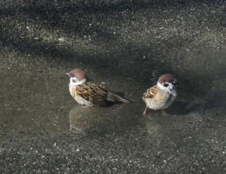 雀の水浴 063