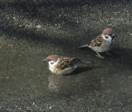 雀の水浴 062