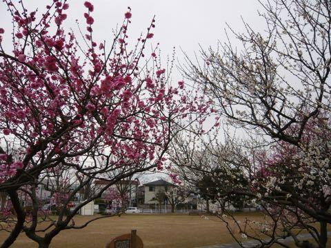 梅が咲き始めた