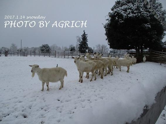 snowgoat2