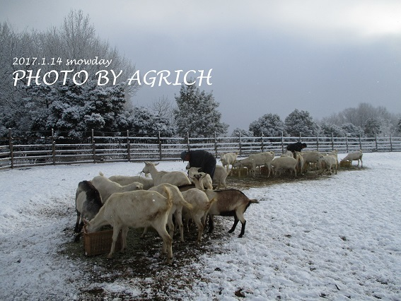 snowgoat3