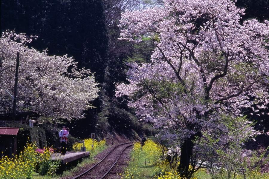 小湊鉄道 飯給 桜6 2009 4月 AdobeRGB 16bit 原版take1b